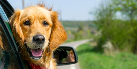 Cómo llevar mascotas en el carro
